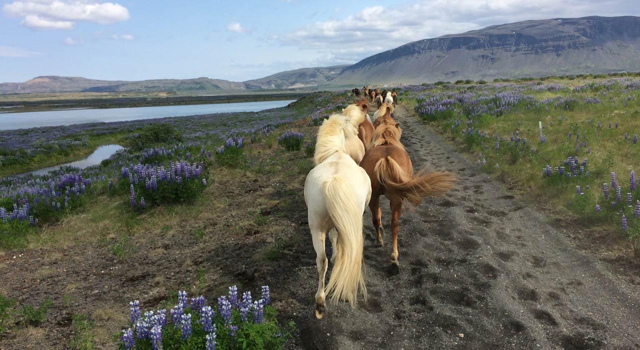 Pferde auf einer Reittour in Island